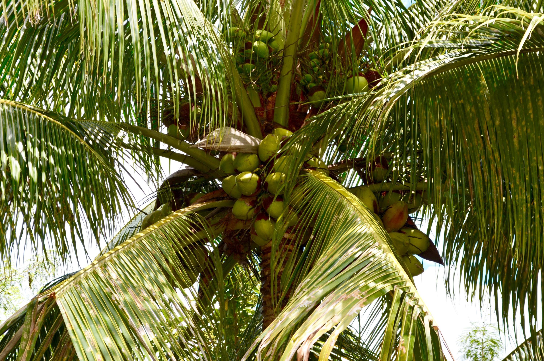 Delicious coconuts!