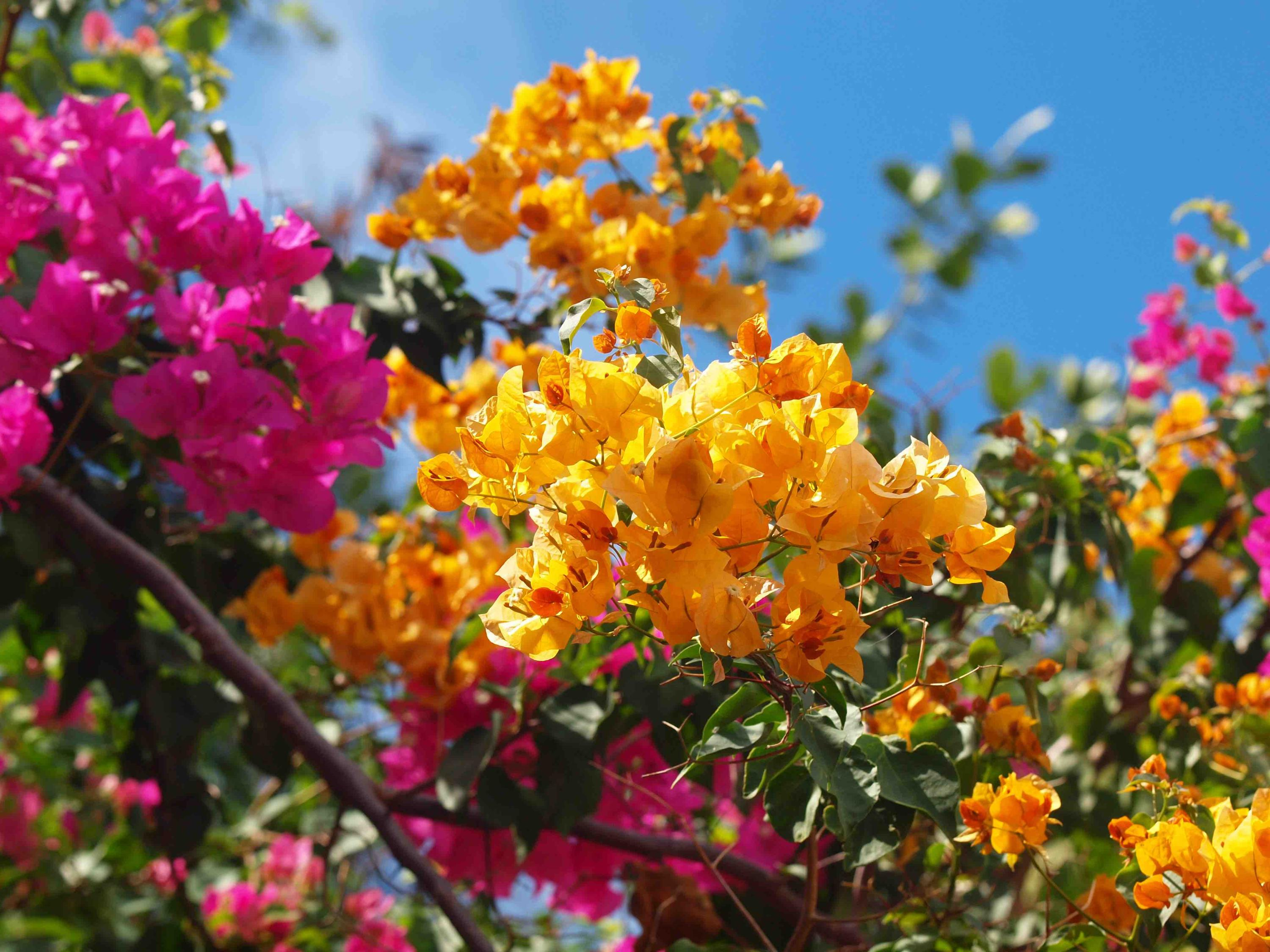 Gorgeous blooming Bougainvillea